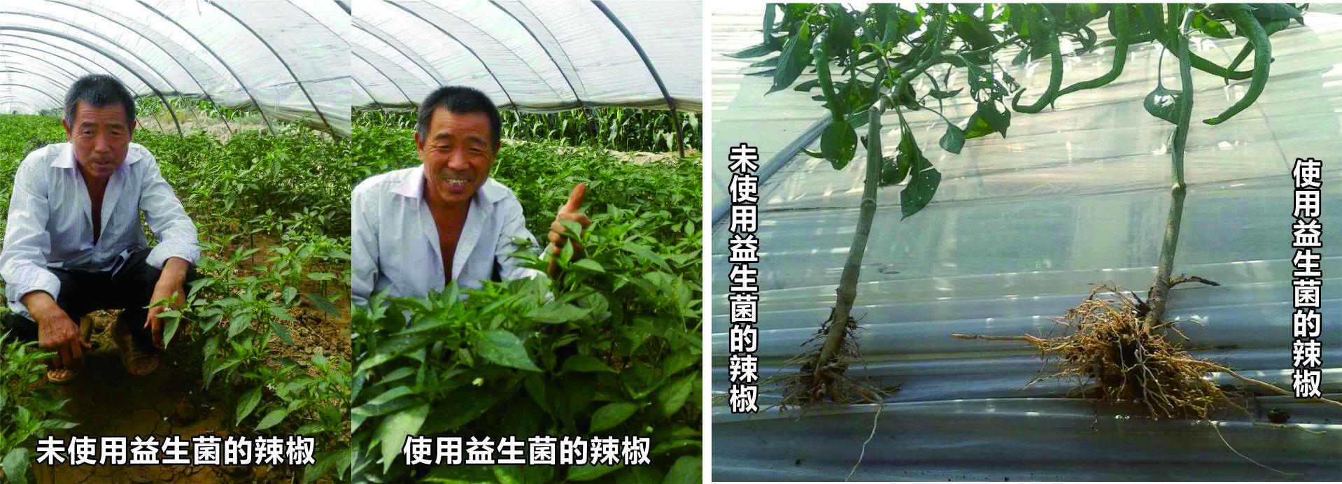 生态益生菌在辣椒种植的应用