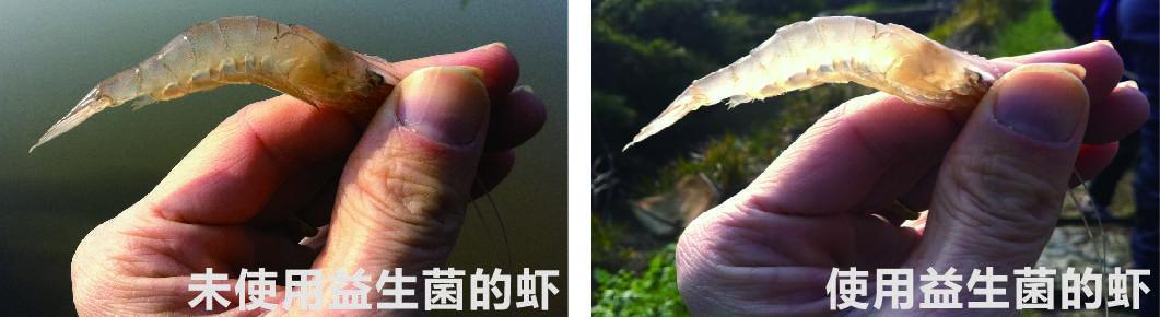 生态益生菌养殖对虾