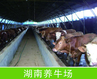 湖南养牛场